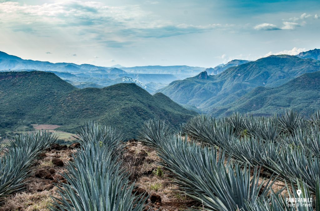 JALISCO-tequila-campo-agave