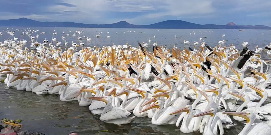 pelicanos-borregones-chapala